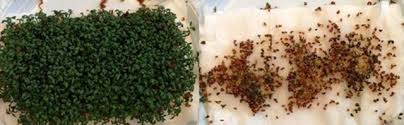 Watercress seeds exposed to wifi